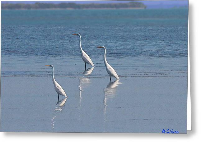 three Egrets Greeting Card by W Gilroy