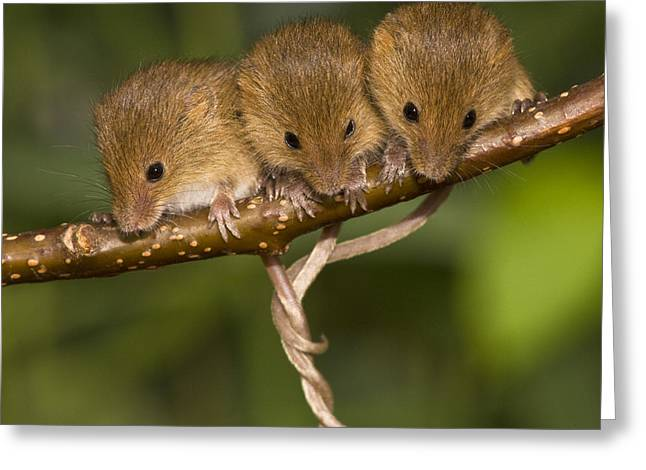 Three Eurasian Harvest Mice Greeting Card