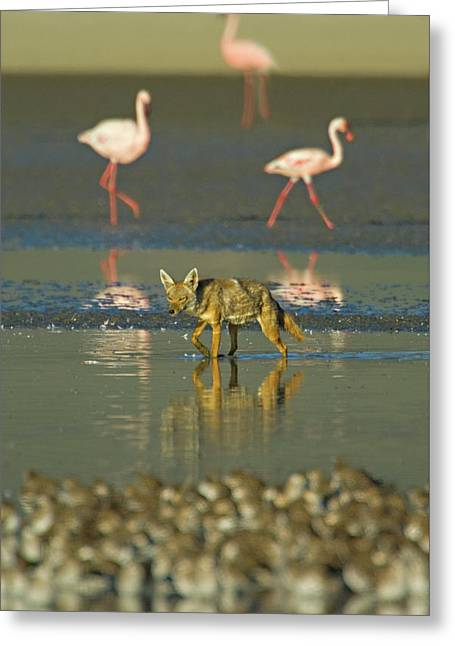 Three Flamingos And A Golden Jackal, Canis Aureus, Walking In Water, Tanzania Greeting Card by Panoramic Images