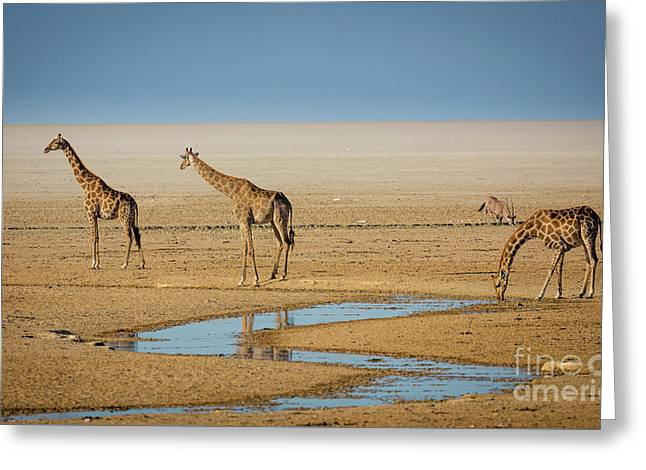 Three Giraffes Greeting Card