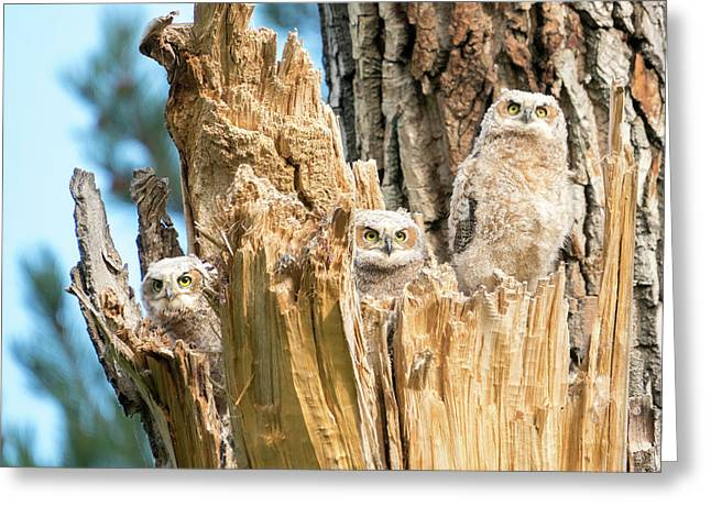 Three Great Horned Owl Babies Greeting Card