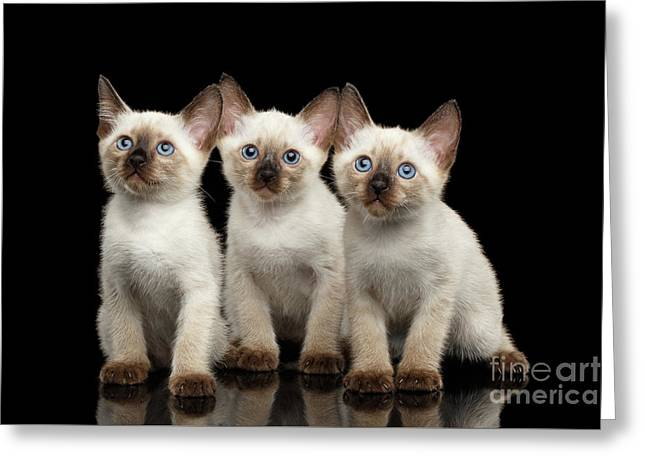 Three Kitty Of Breed Mekong Bobtail On Black Background Greeting Card by Sergey Taran