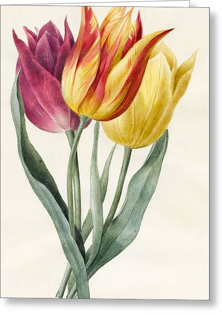 Three Lily Tulips  Greeting Card by Louise D'Orleans