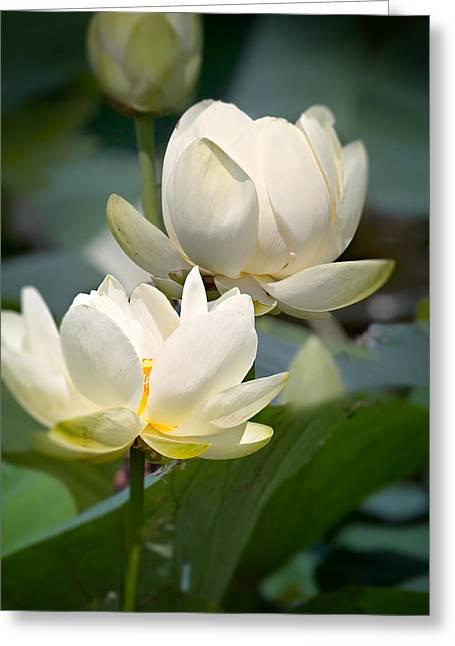 Three Lotus Flowers Greeting Card by Mary Almond