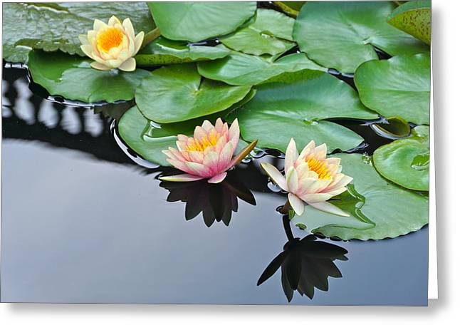 Three Lovely Hardy Waterlily Blossoms Greeting Card by Byron Varvarigos