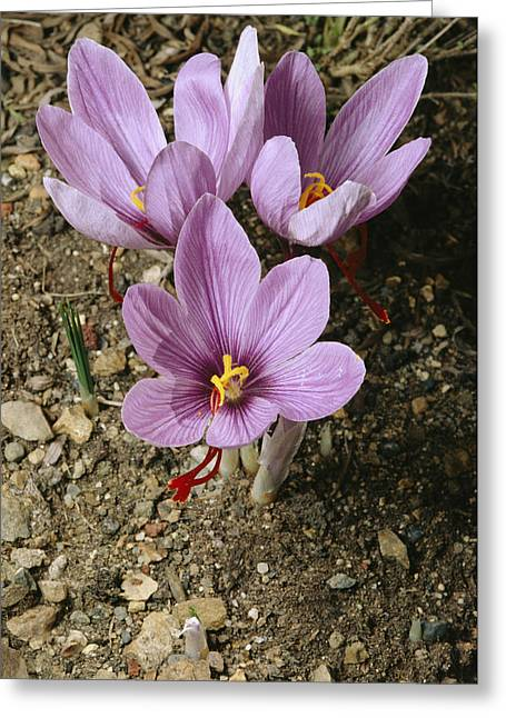Three Lovely Saffron Crocus Blossoms Greeting Card by Sylvia Sharnoff