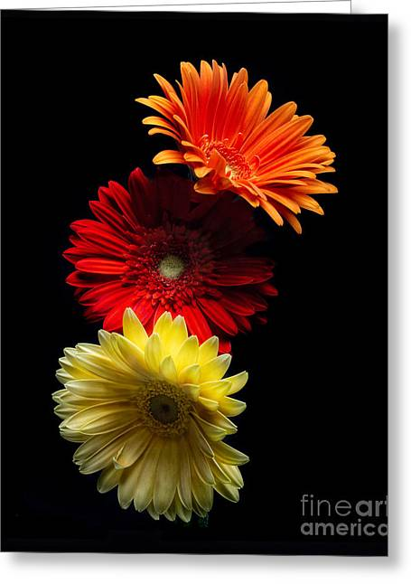 Three Luminous Daises Greeting Card