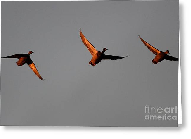 Three Mallards Afternoon Greeting Card