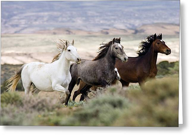 Wild Horses Photographs Greeting Cards - Three Mares Running Greeting Card by Carol Walker