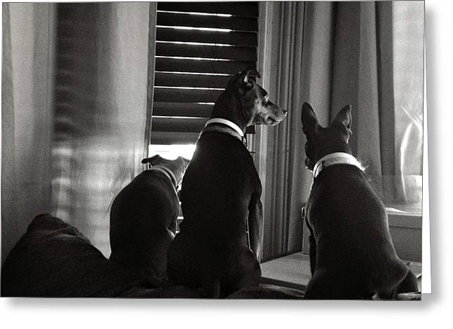 Three Min Pin Dogs Greeting Card