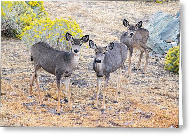 Greeting Card featuring the photograph Three Mule Deer In High Desert by Frank Wilson