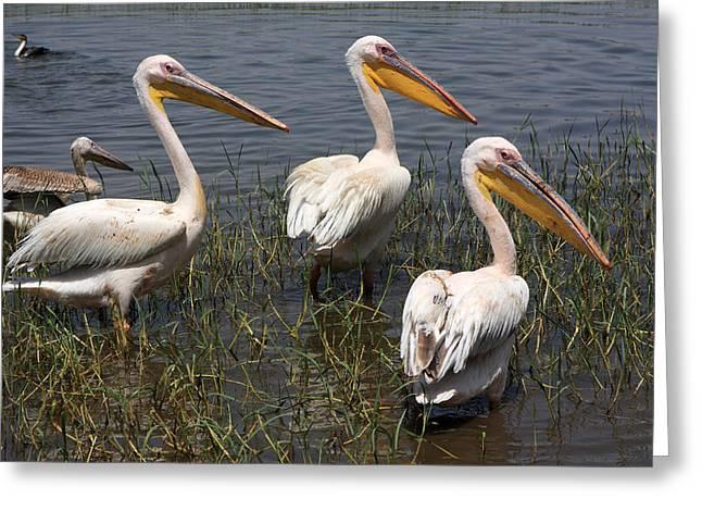 Three Pelicans Greeting Card