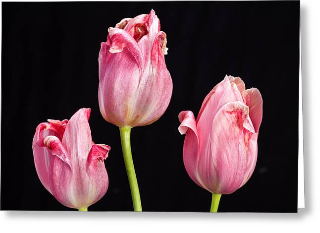 Three Pink Tulips On Black Greeting Card by James BO  Insogna