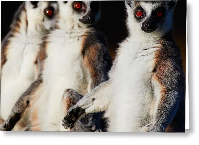 Three Ring-tailed Lemurs Greeting Card by Nick Biemans
