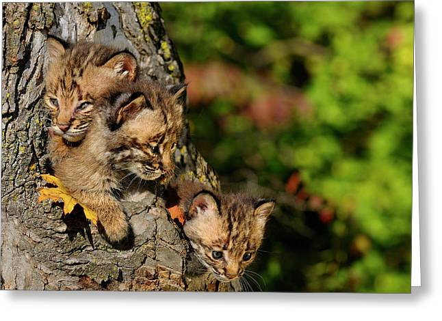 Three Sibling Bobcat Kittens Looking Out From A Tree Hollow Den  Greeting Card by Reimar Gaertner