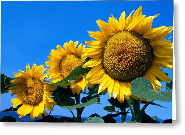 Three Sunflower Blossoms In A Row, Pale Greeting Card by Panoramic Images