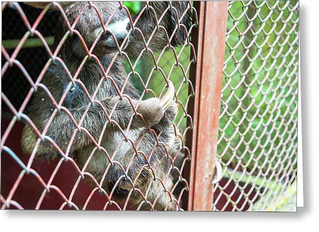 Three Toed Sloth In A Cage Greeting Card by Jess Kraft