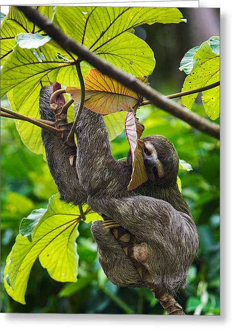 Three-toed Sloth, Sarapiqui, Costa Rica Greeting Card