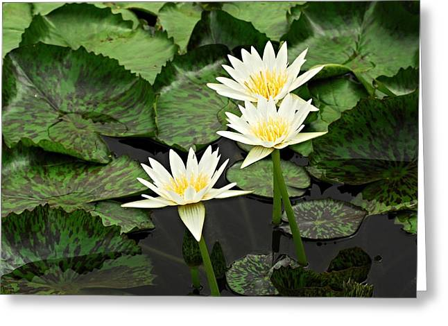 Three Water Lilies Greeting Card