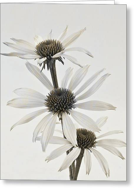 Three White Coneflowers Greeting Card by Sandra Foster
