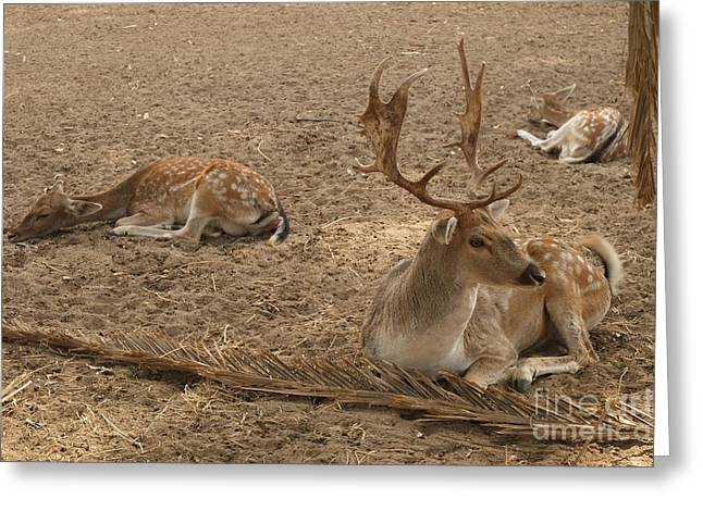 Three Deer Resting Greeting Card