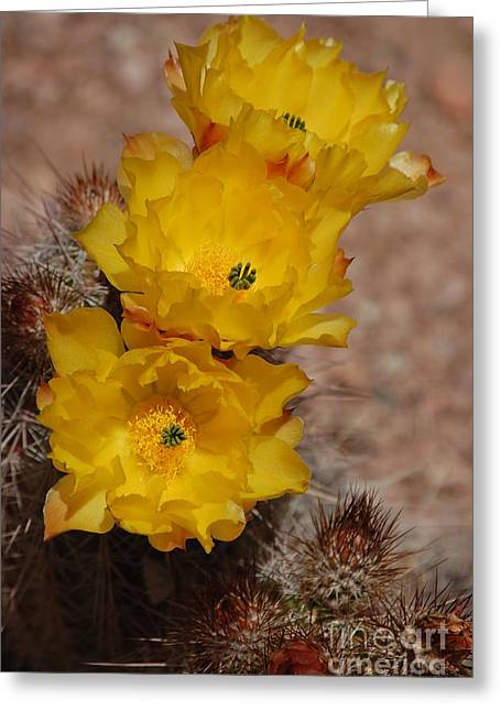 Three Yellow Cactus Flowers Greeting Card