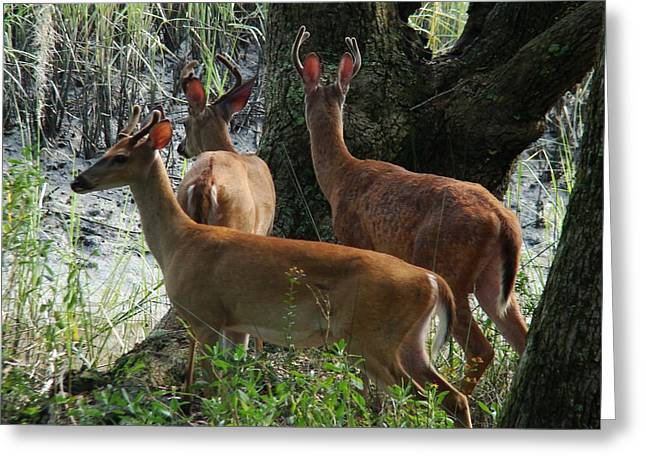Three Young Bucks Greeting Card