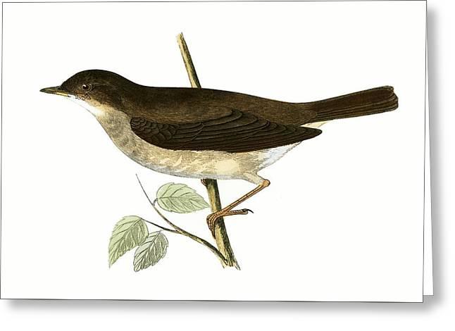 Thrush Nightingale Greeting Card by English School