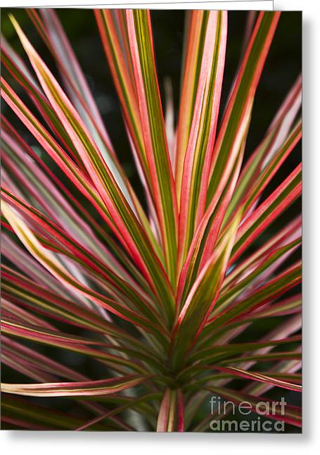 Ti Plant Cordyline Terminalis Red Ribbons Greeting Card by Sharon Mau
