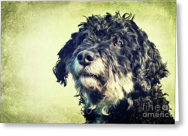 Tibet-terrier Poodle Mix  Greeting Card by Angela Doelling AD DESIGN Photo and PhotoArt