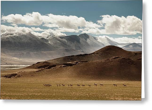 Tibetan Wild Horses Greeting Card by Sebastian Wahlhuetter