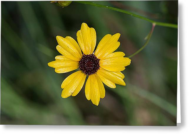 Tickseed Flower Greeting Card by Kenneth Albin