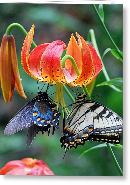 Swallowtail Butterflies Greeting Cards - Tiger and Black Swallowtails on Turks Cap Lilly Greeting Card by Alan Lenk