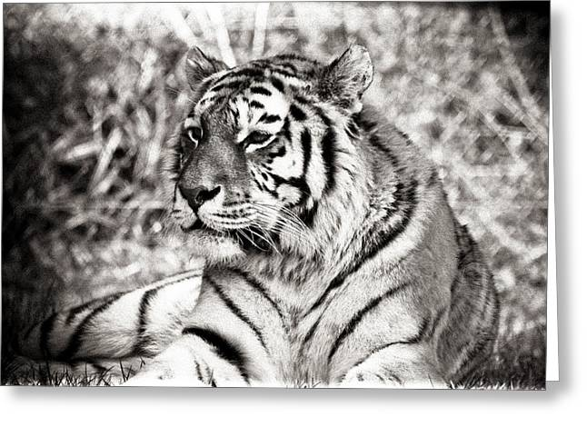 Tiger Greeting Card by Angela Aird