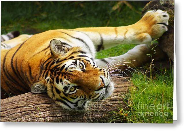 Tiger Greeting Card by Angela Doelling AD DESIGN Photo and PhotoArt