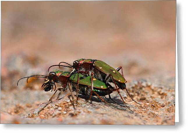 Greeting Card featuring the photograph Tiger Beetle by Richard Patmore