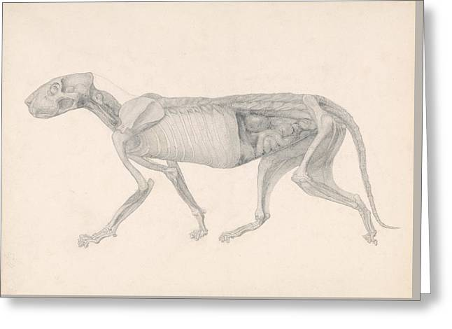 Tiger Body, Lateral View Greeting Card by George Stubbs