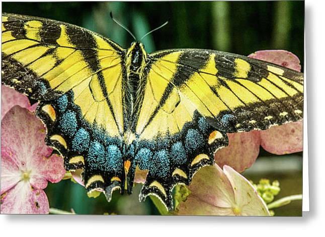 Tiger Butterfly With Wings Spread Greeting Card by Douglas Barnett