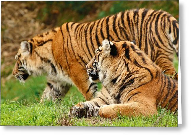 Tiger Country Greeting Card by Athena Mckinzie