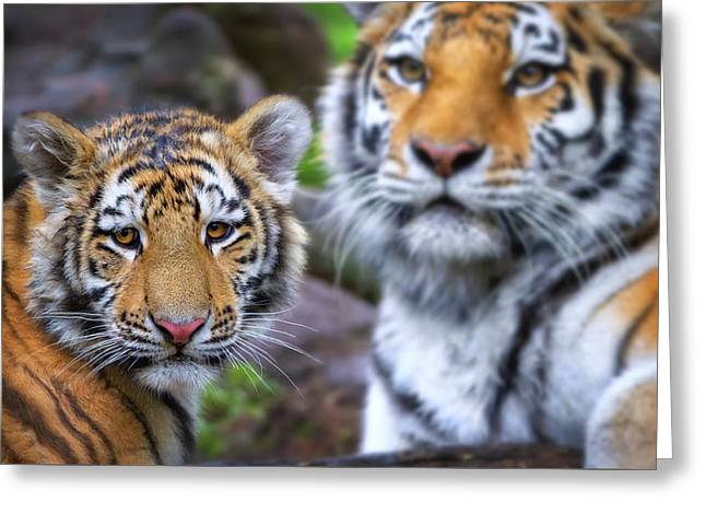Tiger Cub And Mom  Greeting Card