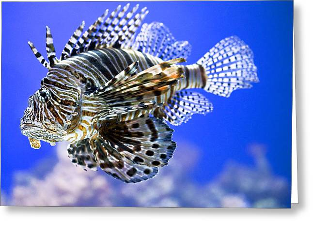 Aquarium Fish Greeting Cards - Tiger Fish Greeting Card by Marilyn Hunt