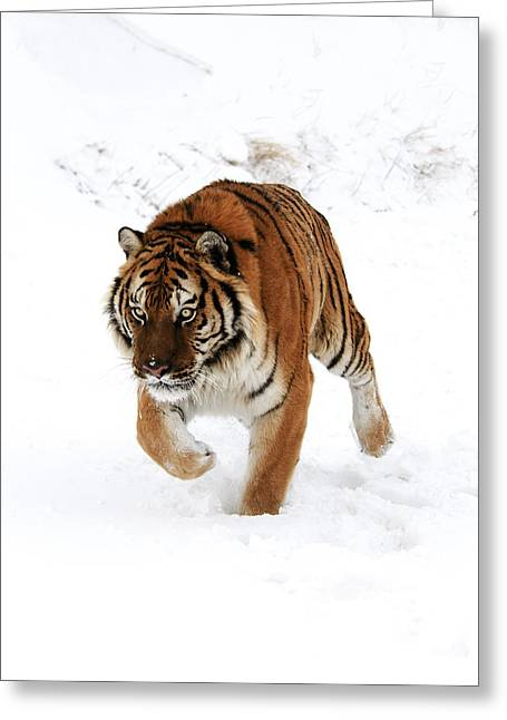 Tiger In Snow Greeting Card