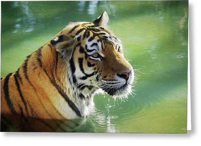 Tiger In The Water Greeting Card by Carlos Caetano