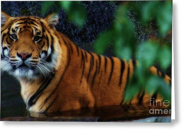 Tiger Land Greeting Card by Kym Clarke