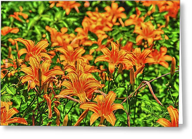 Tiger Lilies Greeting Card by Pat Cook