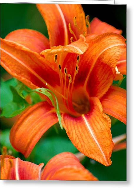 Tiger Lilly  Greeting Card by Jame Hayes