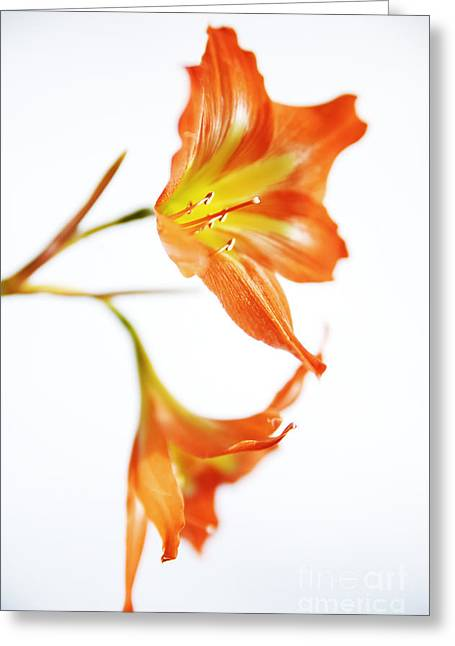 Tiger Lily 2 Greeting Card