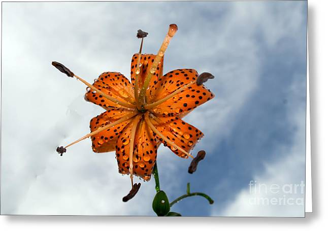 Tiger Lily In A Shower Greeting Card