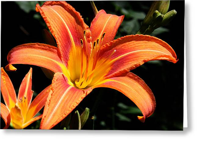 Tiger Lily In Full Sun Greeting Card by Ron Murray