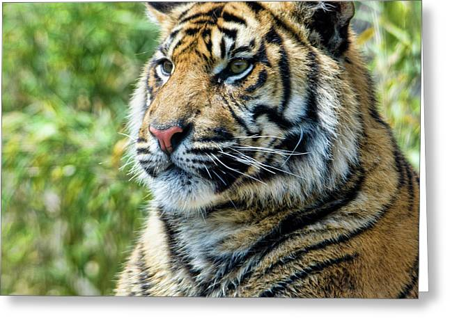 Tiger On Guard Greeting Card by Steev Stamford